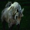 The grey stallion