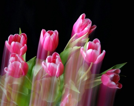 Tulip Dance