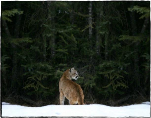 Montana Cougar - ID: 1954757 © DEBORAH thompson