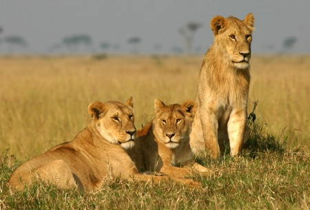 Young Males in Masai Mara