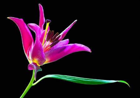 lily, pink, flower, macro