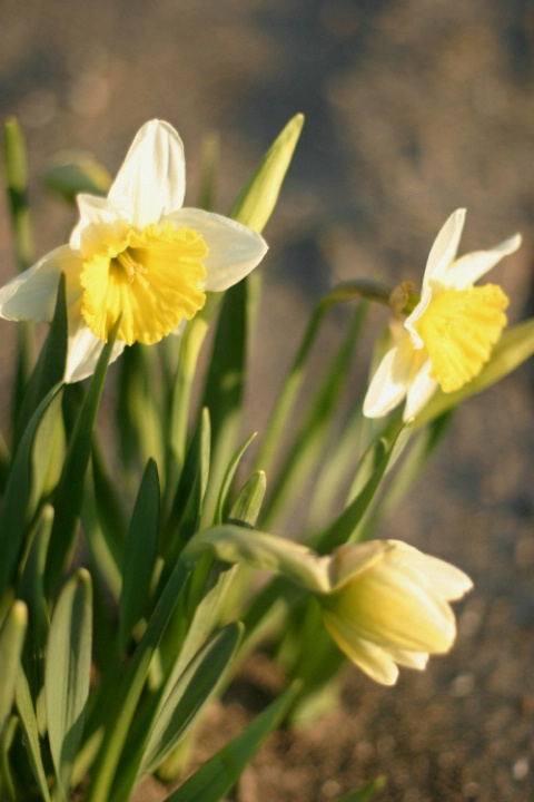 Blooming Daffodils - Group of 3, good composition