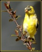 Male Goldfinch Mo...