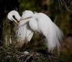 Great Egrets Expe...