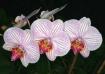 Orchid NY. @ 1