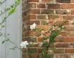 White Roses on Ol...