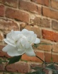 White rose on  an...