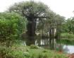 Banyan Tree and P...