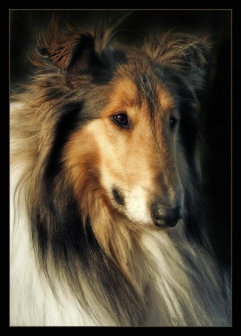 The sheepdog