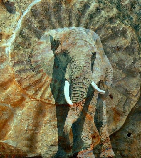 Ammonite Elephant