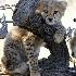 © Shirlee Cunningham PhotoID# 1997135: Cheetah Cub