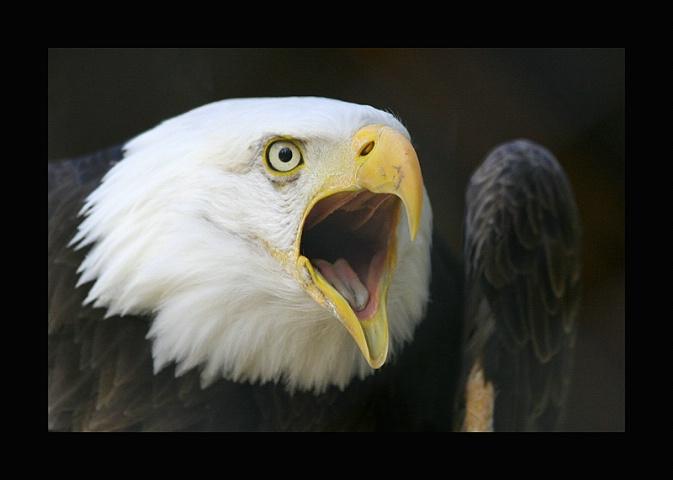 Eagle with Attitude......