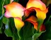 Swerving Callas