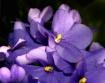 Purple Passion in...