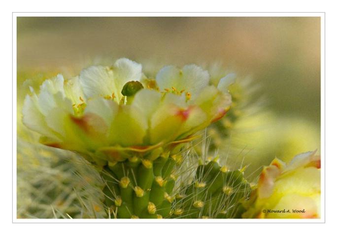 Cholla Cactus-Arizona