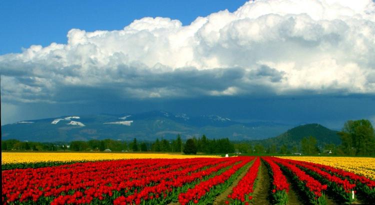 Tulips / Anacortes WA