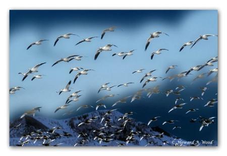Snow Geese Flight
