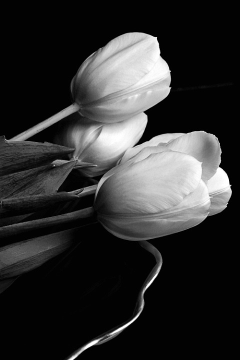 Tulips in Dish