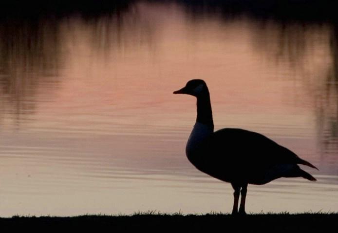 Goose at dawn II - ID: 2018090 © Ann E. Swinford