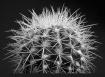 Cactus b/w