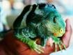 Josh the Iguana