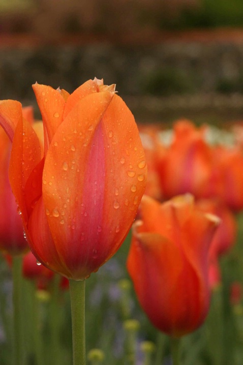 Robes of Orange - ID: 2025897 © John Singleton