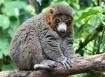 Bashful Lemur