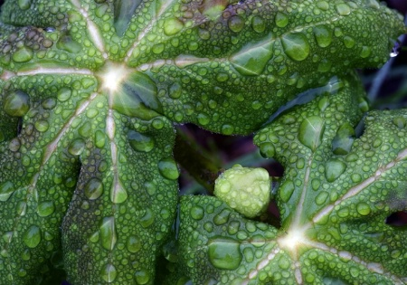 Raindrops on Mayapple