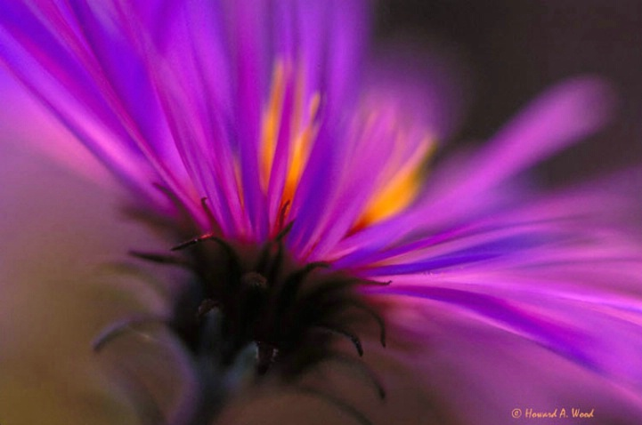 New England Aster Captured on film in Ohio