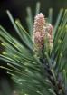 Pine New Growth