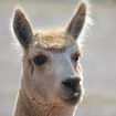 Alpaca - I think ...