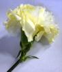 Carnation Instant