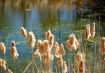 Spring Rushes