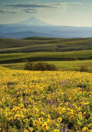 Wildflowers with Mt. Hood