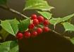 Holly Berries- re...