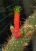 Cactus w./ Sprout...