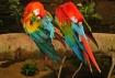 Pair-a-Parrots
