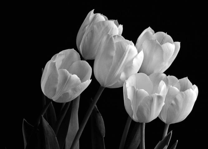Tulip Grove