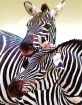 Zebra Buddies Pai...