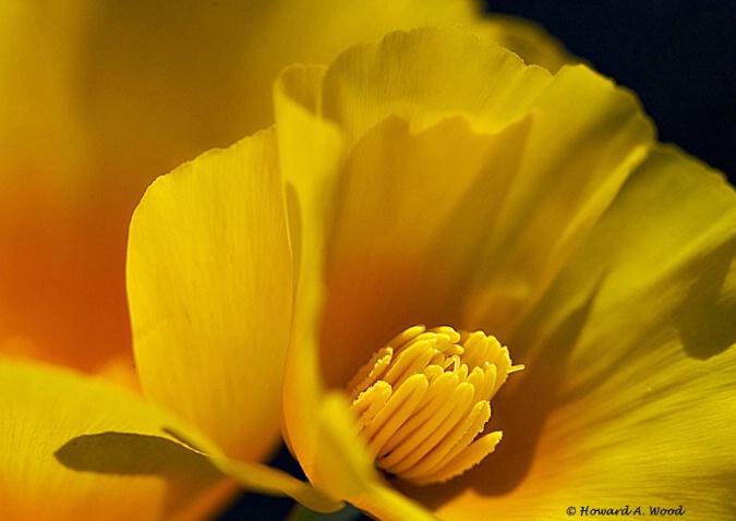 Poppy-Arizona