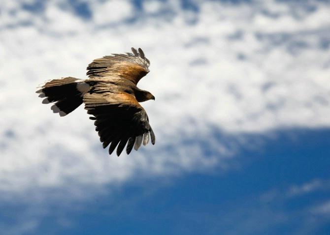 Flying Free -- Harris's Hawk - ID: 2069317 © Edward H. Mertz