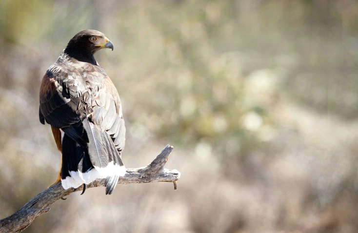Harris's Hawk - ID: 2071749 © Edward H. Mertz