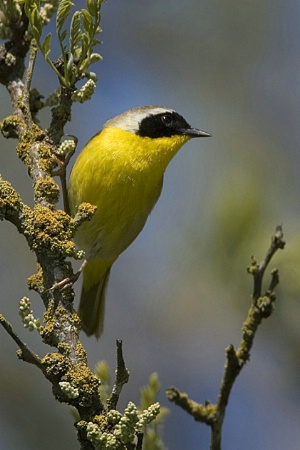 Common Yellowthroat Gleaning
