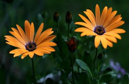 daisy days