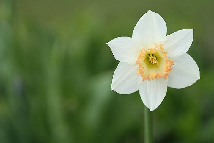 ~ Daffodil ~