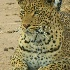 © Shirlee Cunningham PhotoID# 2084899: Royal Leopard