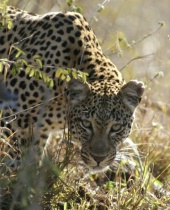 Young female leopard