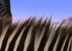 A Zebra Sky