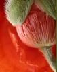 Poppy bud, with r...