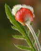 Poppy bud with le...